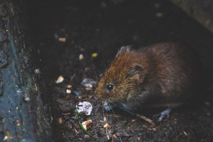 dicas para acabar com os ratos