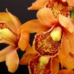 Plante Orquídeas em sua casa e veja sua saúde melhorar