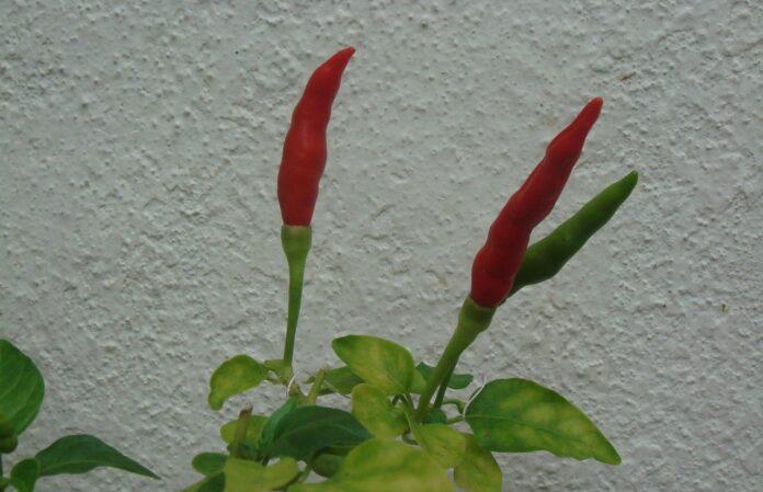 6 Benefícios da pimenta malagueta para a saúde