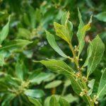 Chá de louro previne hipertensão, melhora os rins e combate diabetes