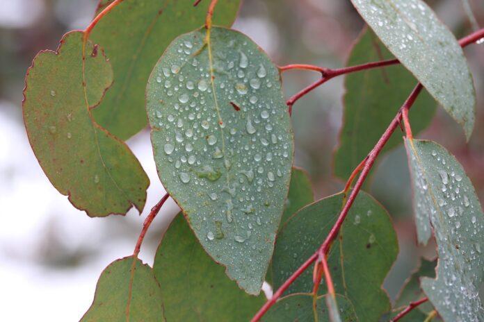 Use folhas ou óleo de eucalipto para melhorar a saúde e atrair vibrações positivas