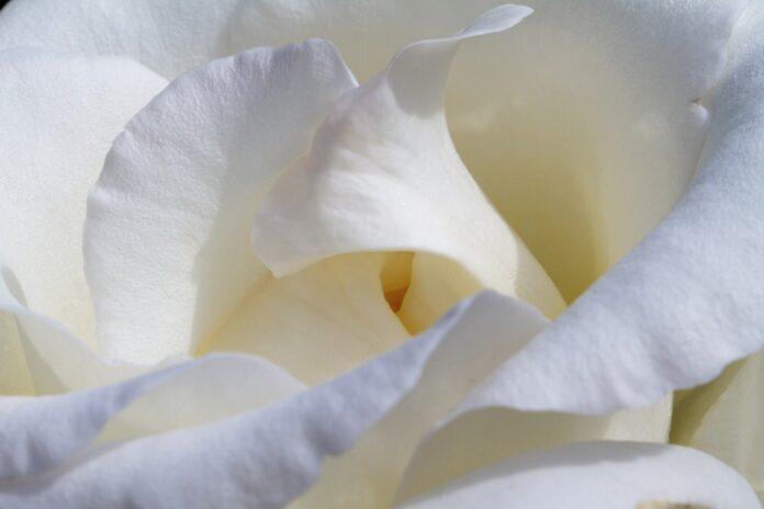 Use pétalas de rosa-branca para retardar o envelhecimento e atrair coisas boas