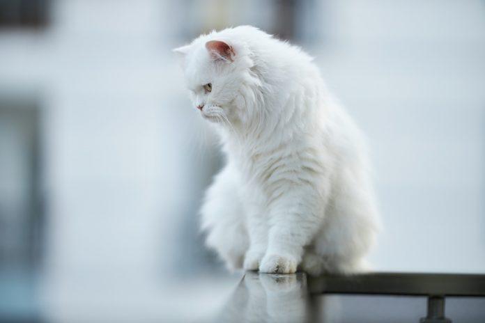 Isto é o que significa quando um gato branco cruza o seu caminho