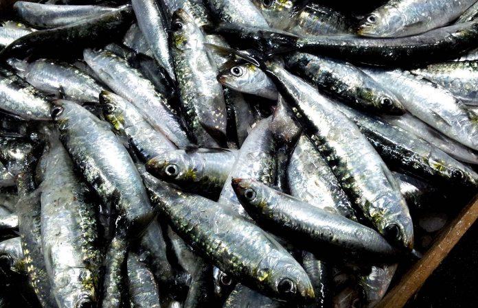 A sardinha é considerada um dos melhores peixes do mundo, descubra todos os benefícios